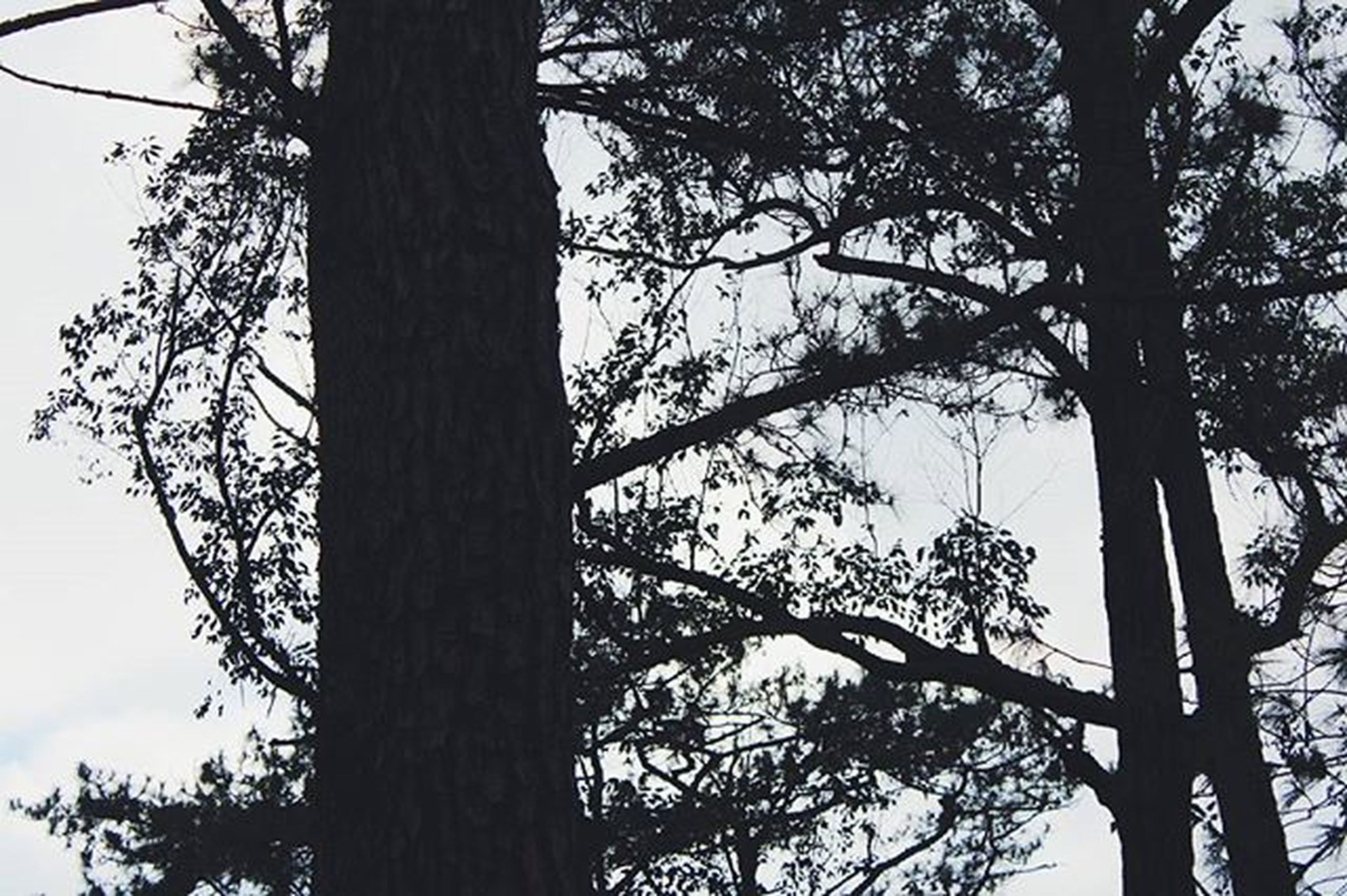 tree, low angle view, branch, tree trunk, bare tree, silhouette, nature, sky, tranquility, growth, beauty in nature, clear sky, outdoors, no people, day, scenics, tranquil scene, forest, tall - high, non urban scene