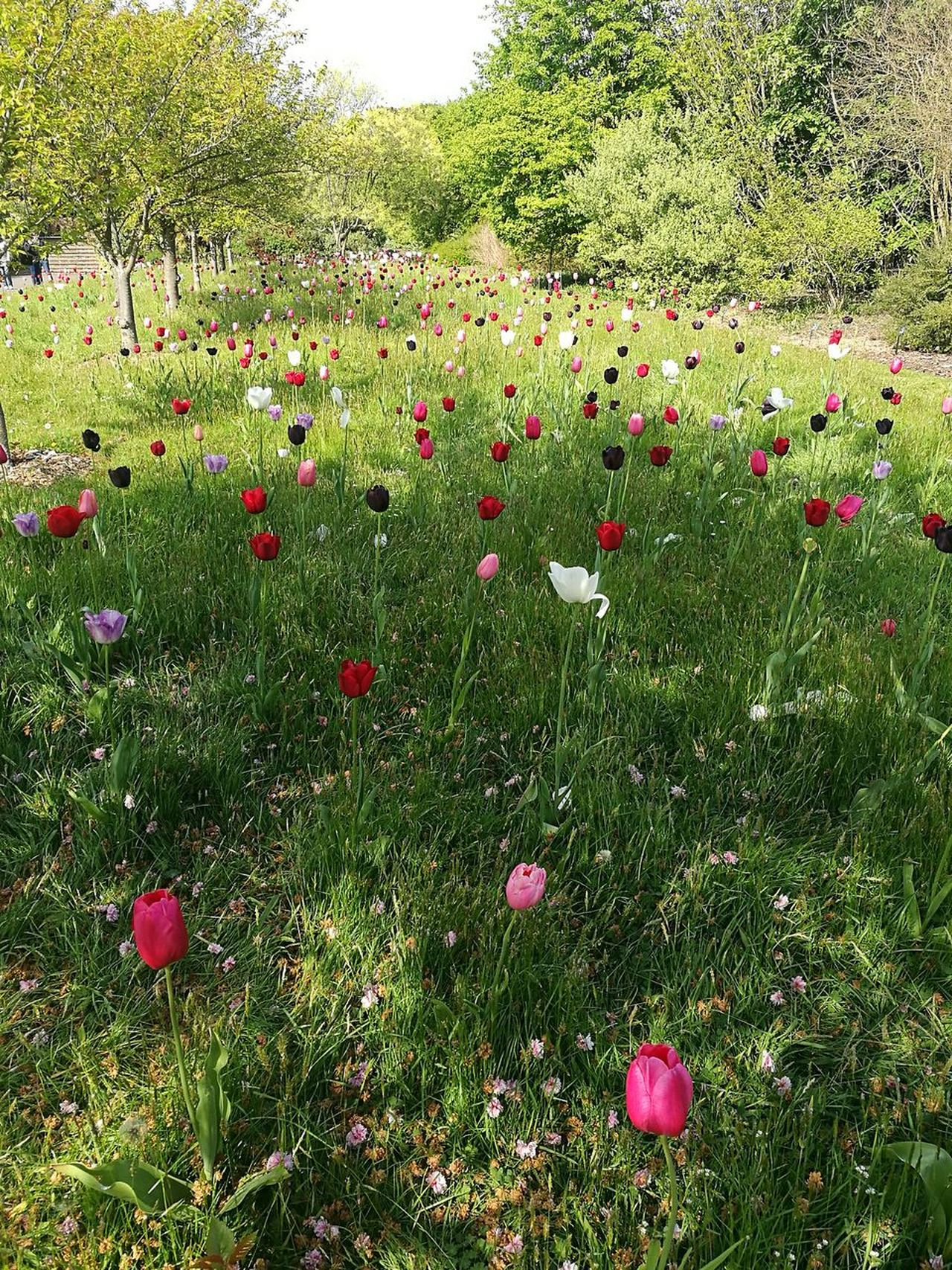 Tulips Tulip Flowers Tulips🌷 Multi Colored Tulips In The Wild Flowers April Spring Flowers Tulip Flowers, Nature And Beauty Kew Gardens, London Spring Smartphone Photography P9 Field Nature Beauty In Nature Outdoors No People Freshness Grass Flower Growth Blooms Springtime