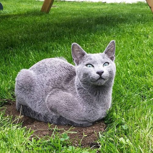 Soooo... does anyone else think I look like a hen sitting on her eggs?? 😹😹 Catsofinstagram Kittensofinstagram Russianbluesofinstagram Russianbluekitten RussianBlue Russianbluecat Smartcat Instacat Instakitty Kittens Greycat Silvercat Bluecat Blue Cat_features ロシアンブルー Propetsfeature Catstocker Catstock Excellent_cats Rosyjskiniebieski Russischblau Gats Gatos Cute aluzruso catsrequests nofiltercatsmosh