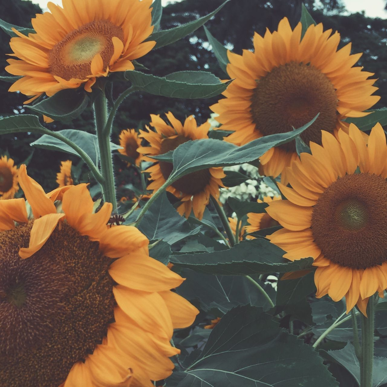 flower, fragility, petal, flower head, beauty in nature, freshness, nature, growth, plant, yellow, sunflower, blooming, no people, close-up, outdoors, day