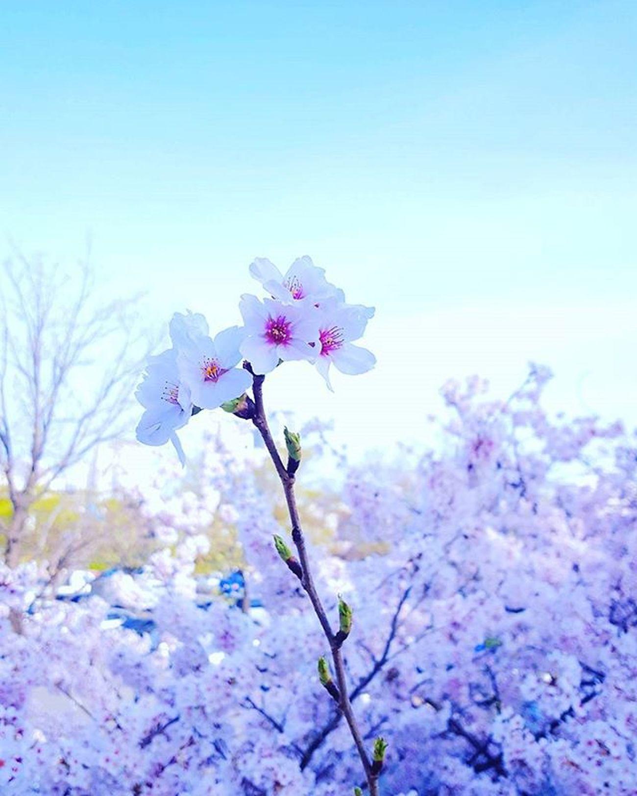 밖에나가면 벚꽃천국이라 안찍을수가 없네요 Photography Photographer 부산 Busan Spring Flower 일상 데일리 감성 감성사진 사진 여행 일상공유 Sotong 미러리스카메라 Follow Followme Photo Travel Daily Southkorea