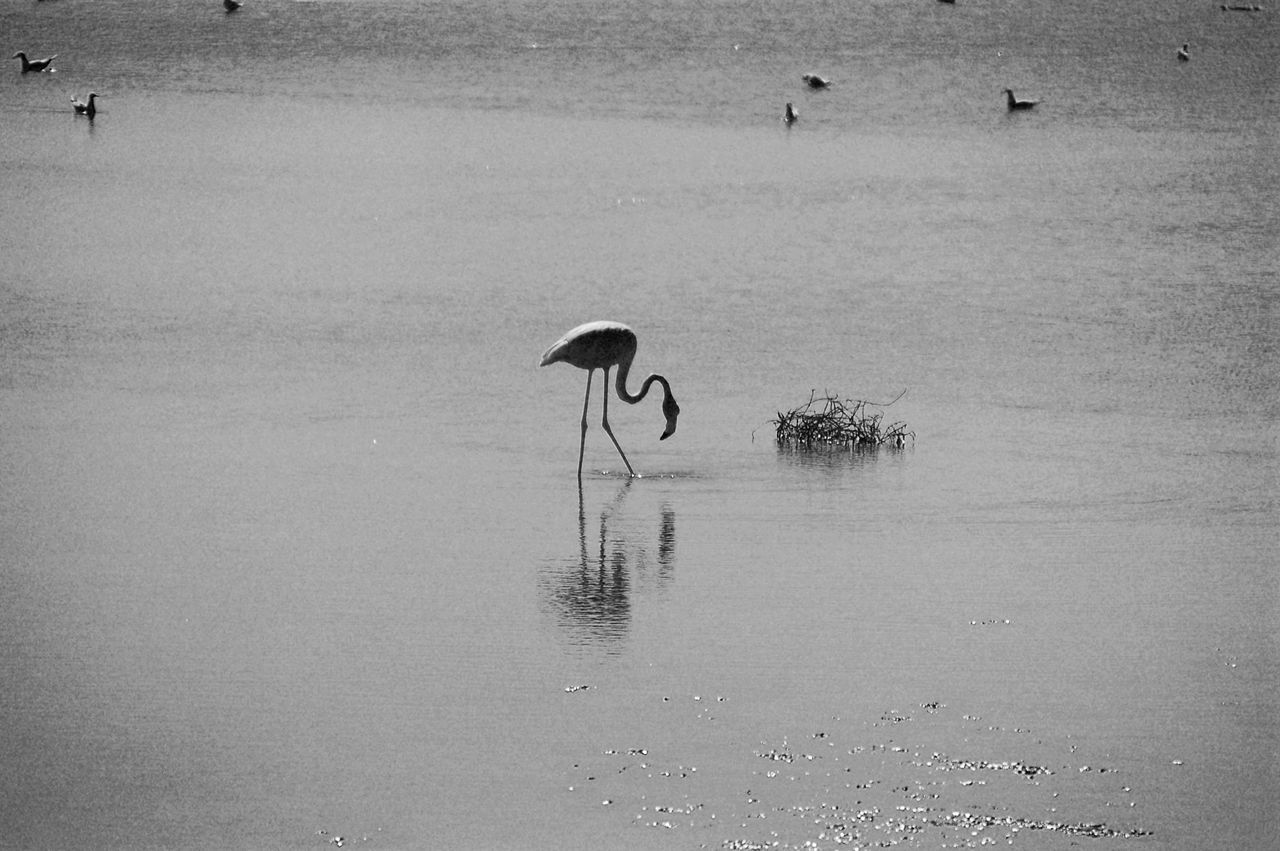 water, bird, animals in the wild, reflection, animal themes, lake, flamingo, nature, day, outdoors, animal wildlife, no people, beauty in nature