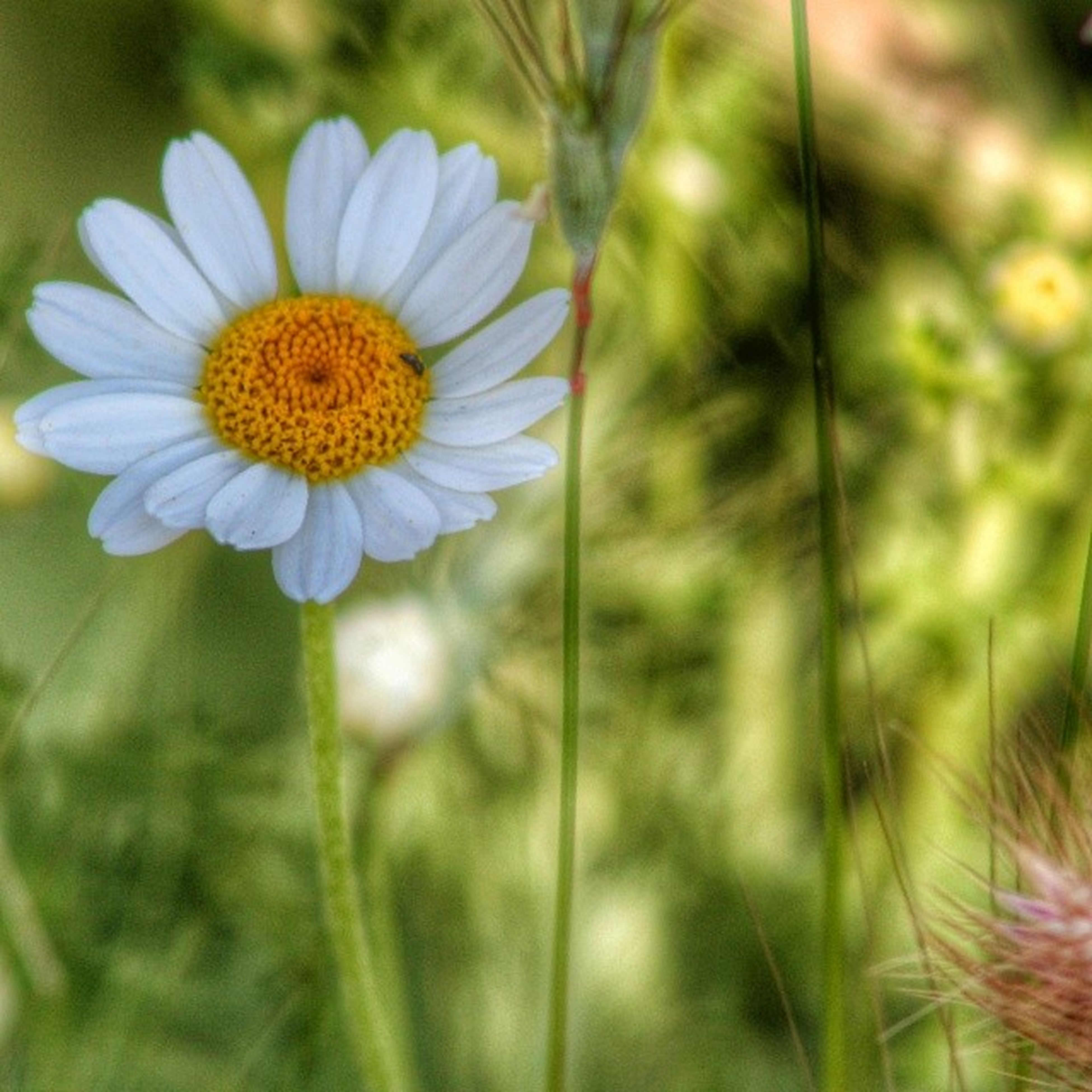 flower, freshness, fragility, petal, flower head, growth, beauty in nature, daisy, yellow, blooming, focus on foreground, pollen, close-up, plant, nature, stem, white color, in bloom, single flower, selective focus
