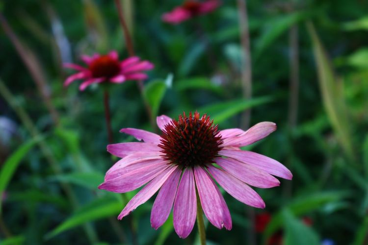 Exploring Saturday in Downtown Fayetteville, Ar. Square Garden. Plants Arkansas Fayetteville Garden Botanical Echinacea Pink Canon Canonphotography Macro Nature