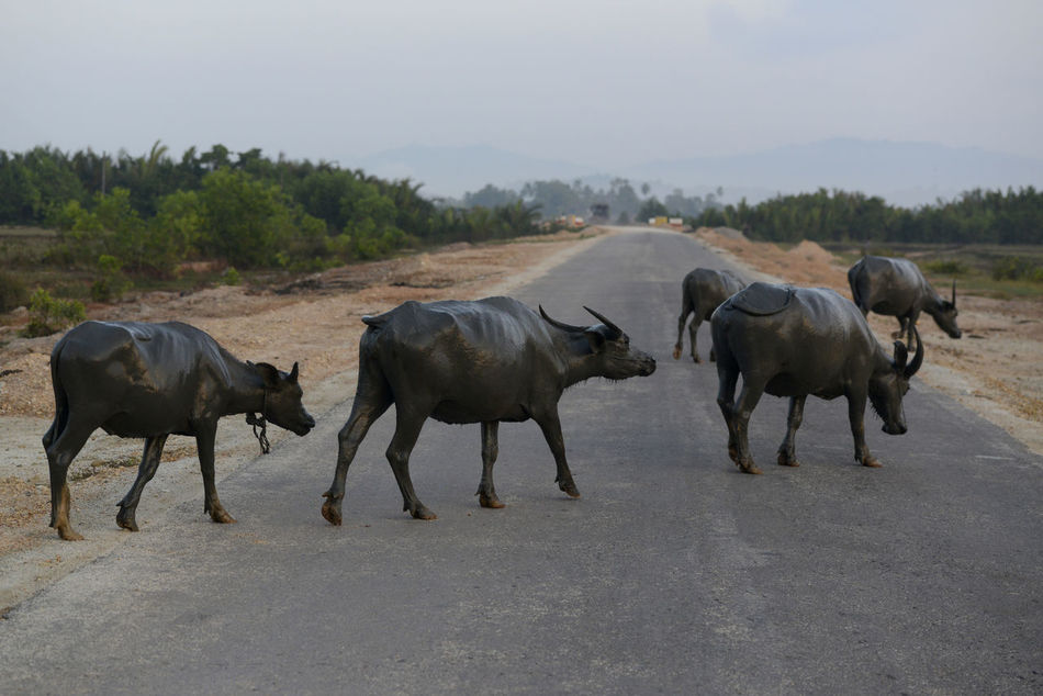 Beautiful stock photos of kühe, Animal Themes, Cattle, Crossing, Diminishing Perspective