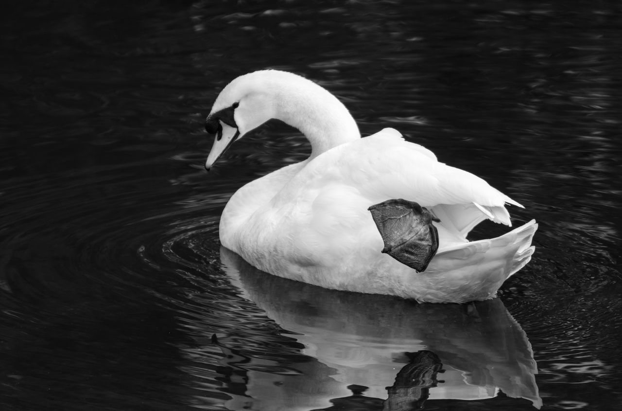 Animal Themes Animal Wildlife Animals In The Wild Beauty In Nature Beauty In Nature Bird Black & White Black And White Black And White Photography Blackandwhite Blackandwhite Photography Charm Close-up Day Graceful Gracefulness Lake Loveliness Nature No People Outdoors Swan Swimming Water Water Bird