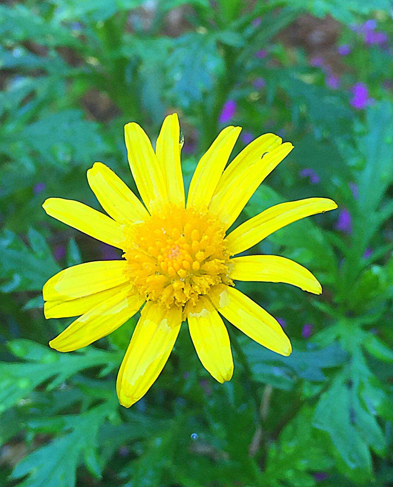 Yellow Daisy Solo Daisy Green Gardening
