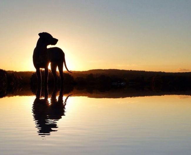 Watching & Waiting 🐶 A Rhodesian Ridgeback blocks out the sunset 👍🏻 Dog Sunset Sun Animals Water Water Reflections
