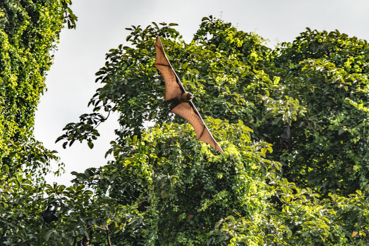 Daytime Bats Of Sri Lanka Airtime Bat Bat In The Day Batman Beauty In Nature Botanical Gardens Carrying Child Day Daytime Flying Flying High Fruit FruitBats High Mammal Nature No People Nocturnal Outdoors Real Bat Sky Soaring Treetops Wing Veins Wingspan
