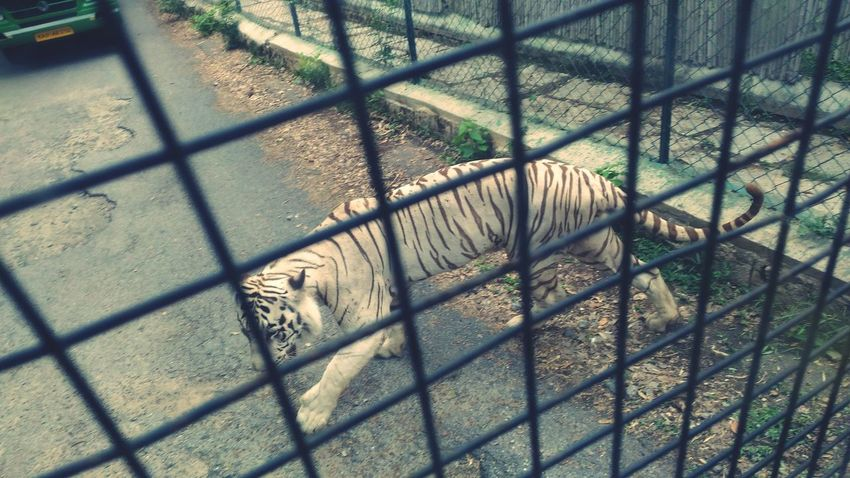 BannerghattaNationalPark Taking Photos Inspiring Tigers Travelling Photography EyeEm Best Shots Mother Nature Check This Out Enjoying Life I LOVE PHOTOGRAPHY Life Is Beautiful Pixelmastercamera Asuszenfonemaxphotography White Tiger Tiger Life Is Waiting Beauty In Nature Life Is Awesome Relaxing Hello World Beauty In The Beast at Bannerghatta Bangalore Incredible India 😊