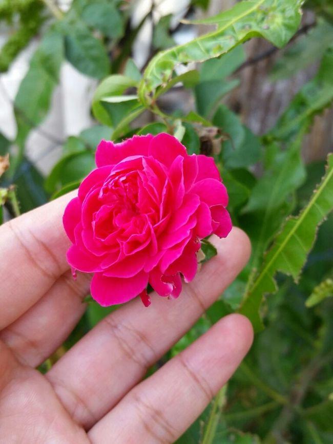Bunga bukan sekuntum, 😆 Pink Roses Flowerporn Vscocam Fresh Flowers Kuala Terengganu Repost From Instagram Sara_teck
