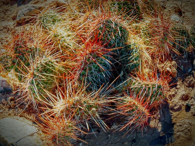 Cactus Cacti Prickly Pear Unfriendly Pokey Spines Watch Were You Are Walking Badlands