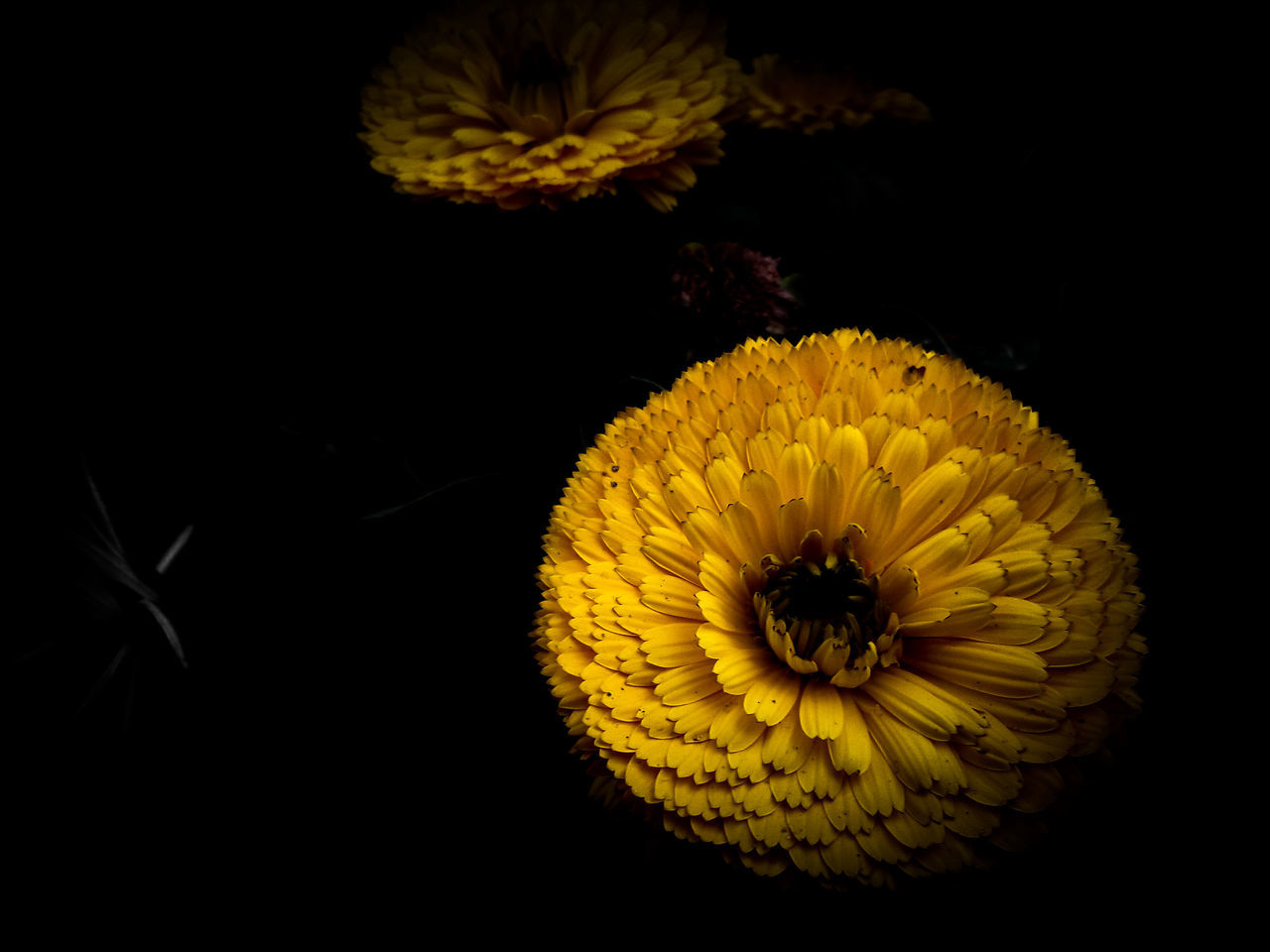 Flower Yellow Flower Head Black Background Nature Plant Sunflower Petal No People Close-up Beauty In Nature Fragility Freshness Studio Shot Poppy Outdoors Day