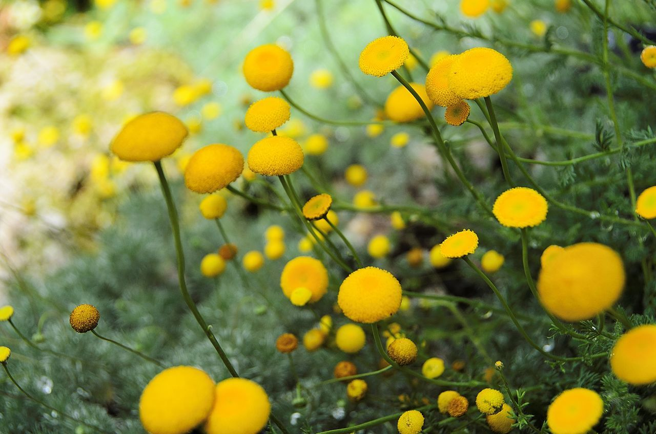 Yellow Flowers Blooming In Garden