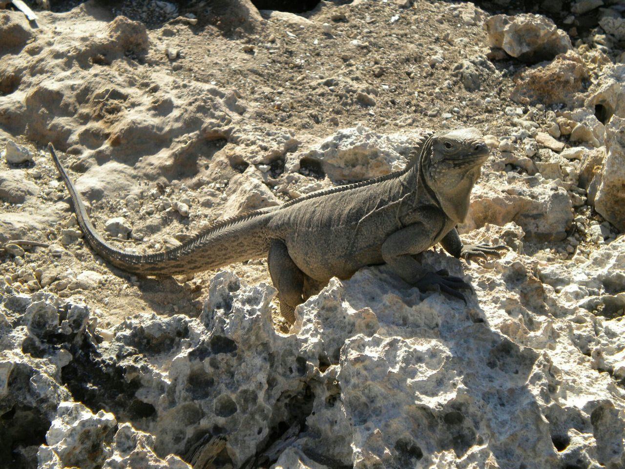 Iguana Mimetism Cuba Rocks Animal Photography Tropical Perfect Match