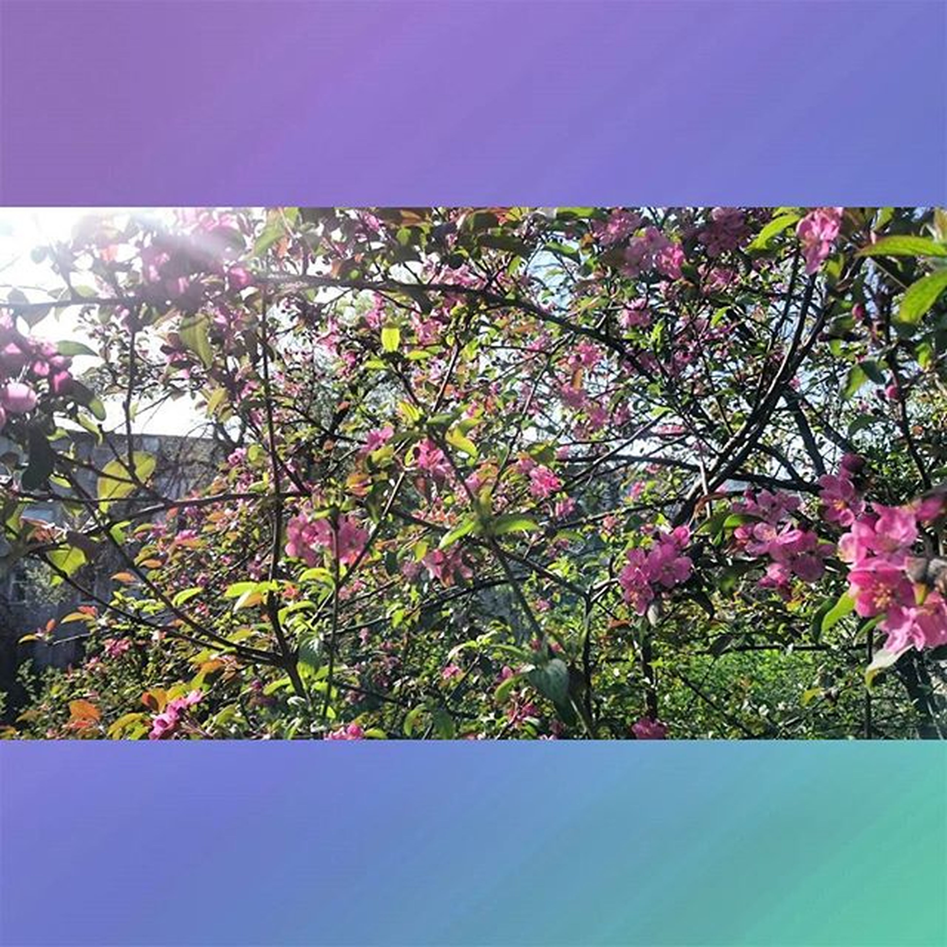 flower, growth, freshness, beauty in nature, pink color, tree, fragility, nature, branch, clear sky, blossom, low angle view, blooming, in bloom, sky, pink, plant, day, leaf, springtime