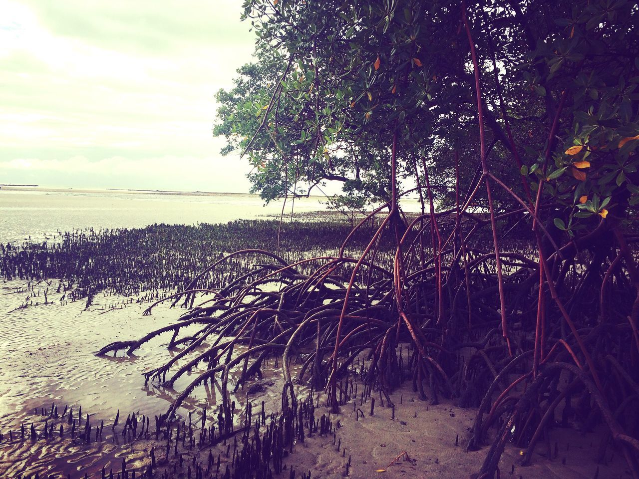 Trees Mangroves Beach Tranquility Sea Beauty In Nature Outdoors Water Sand Morning