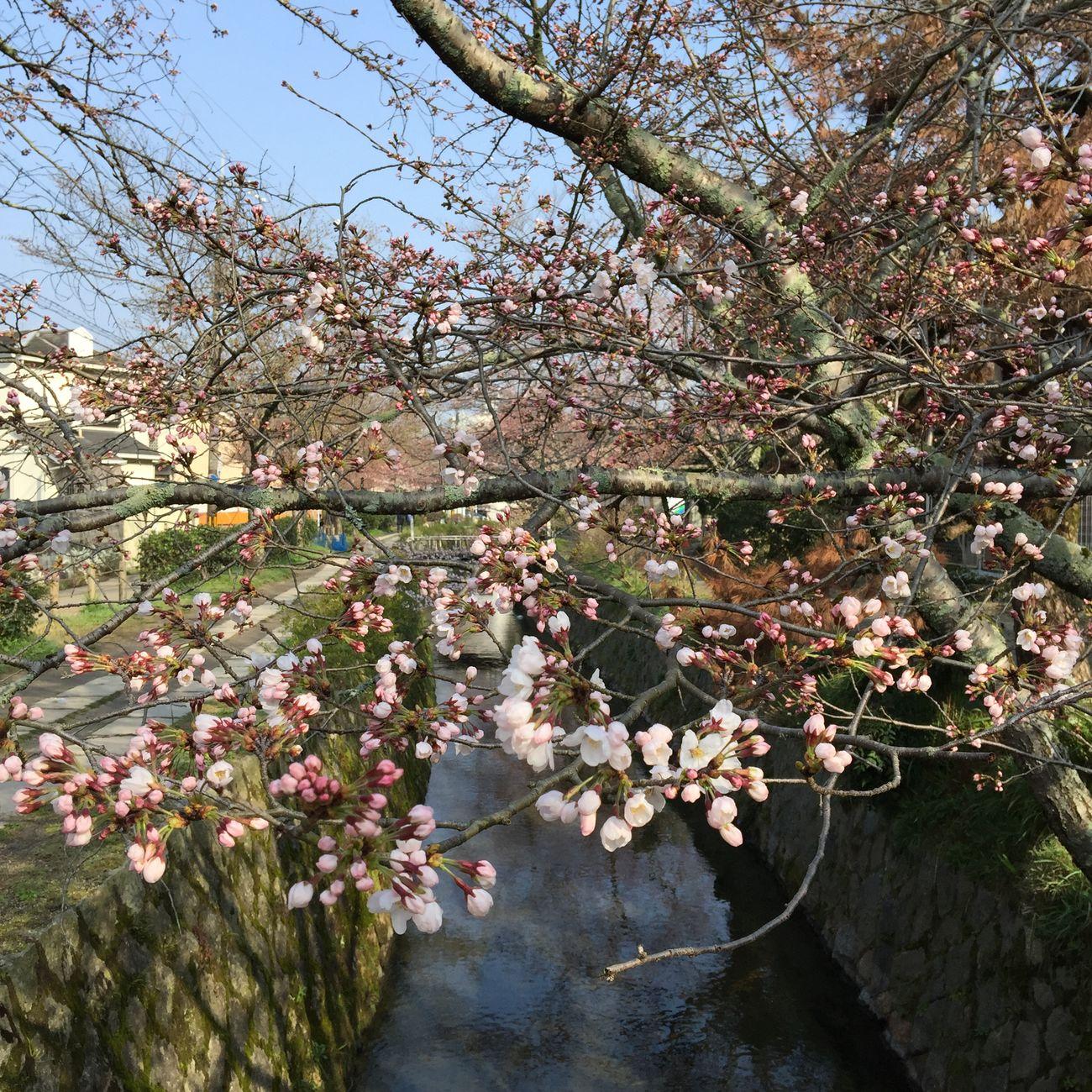 開花 Cherry Blossoms Kyoto Spring 桜