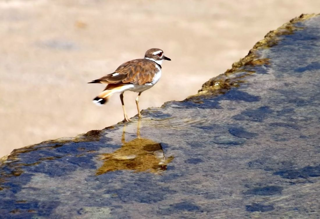 Water Bird Killdeer Kill Deer Naturephotography Catching Food Hotspring Outdoors Photograpghy  Birds Of EyeEm  Birds In Nature Bird Watching Birds_collection Birdwatching Bird Photography Bird Close-up Close Up Nature Beauty In Nature Water_collection Thermal Pool Thermal Bath Bird In Water Photography Birds Outdoor Photography Reflections In The Water