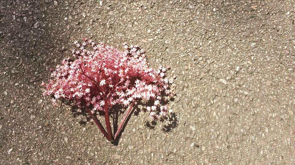 so cherry tree can break through asphalt. Tree Cherry Blossoms Cherry Blossom Cherry Cherryblossom Cherry Tree Cherryred Cherries Cherries🍒 Cherryblossoms Cherry Tree Flower Cherry Trees Asphalt