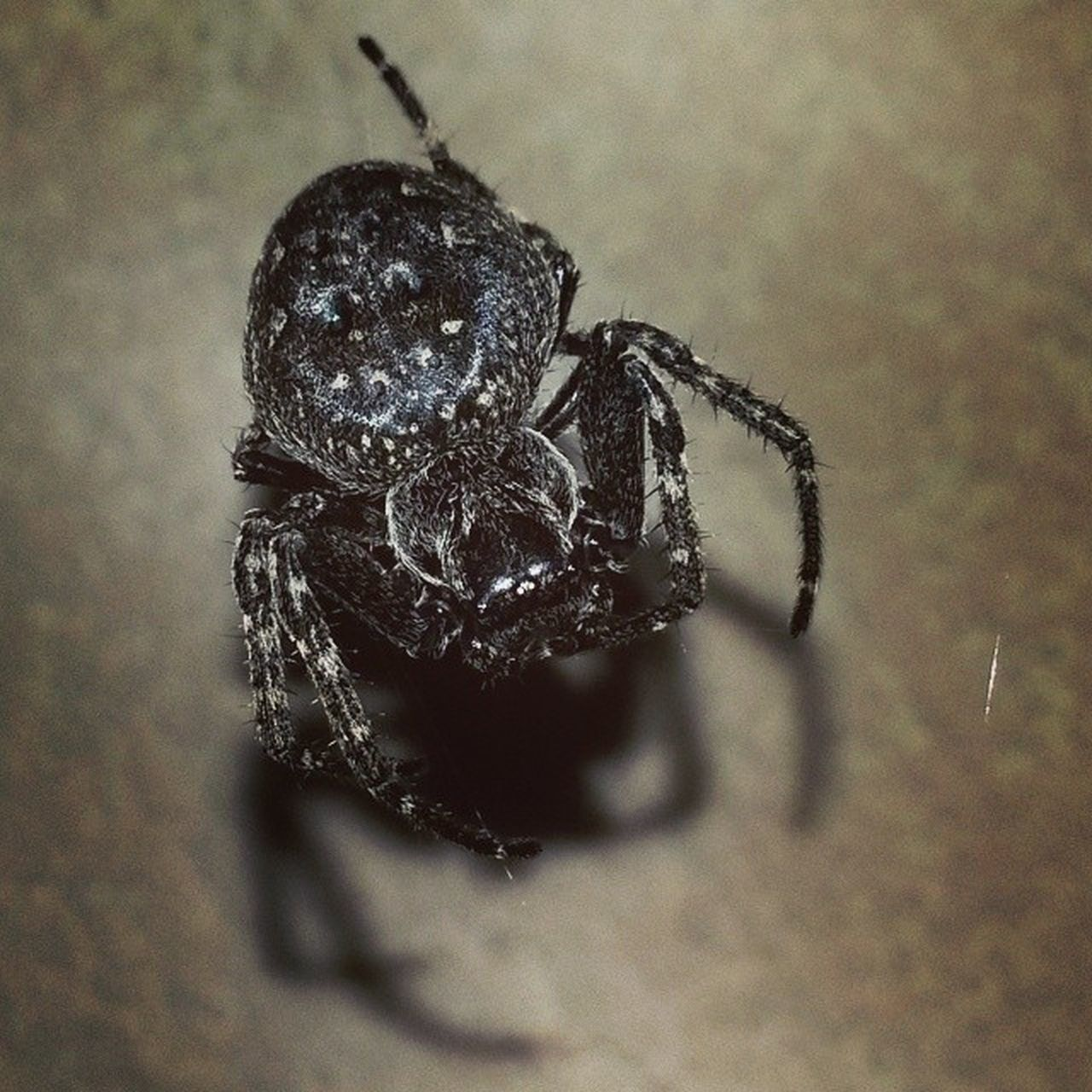 spider, animals in the wild, one animal, animal themes, close-up, jumping spider, insect, no people, animal wildlife, day, indoors