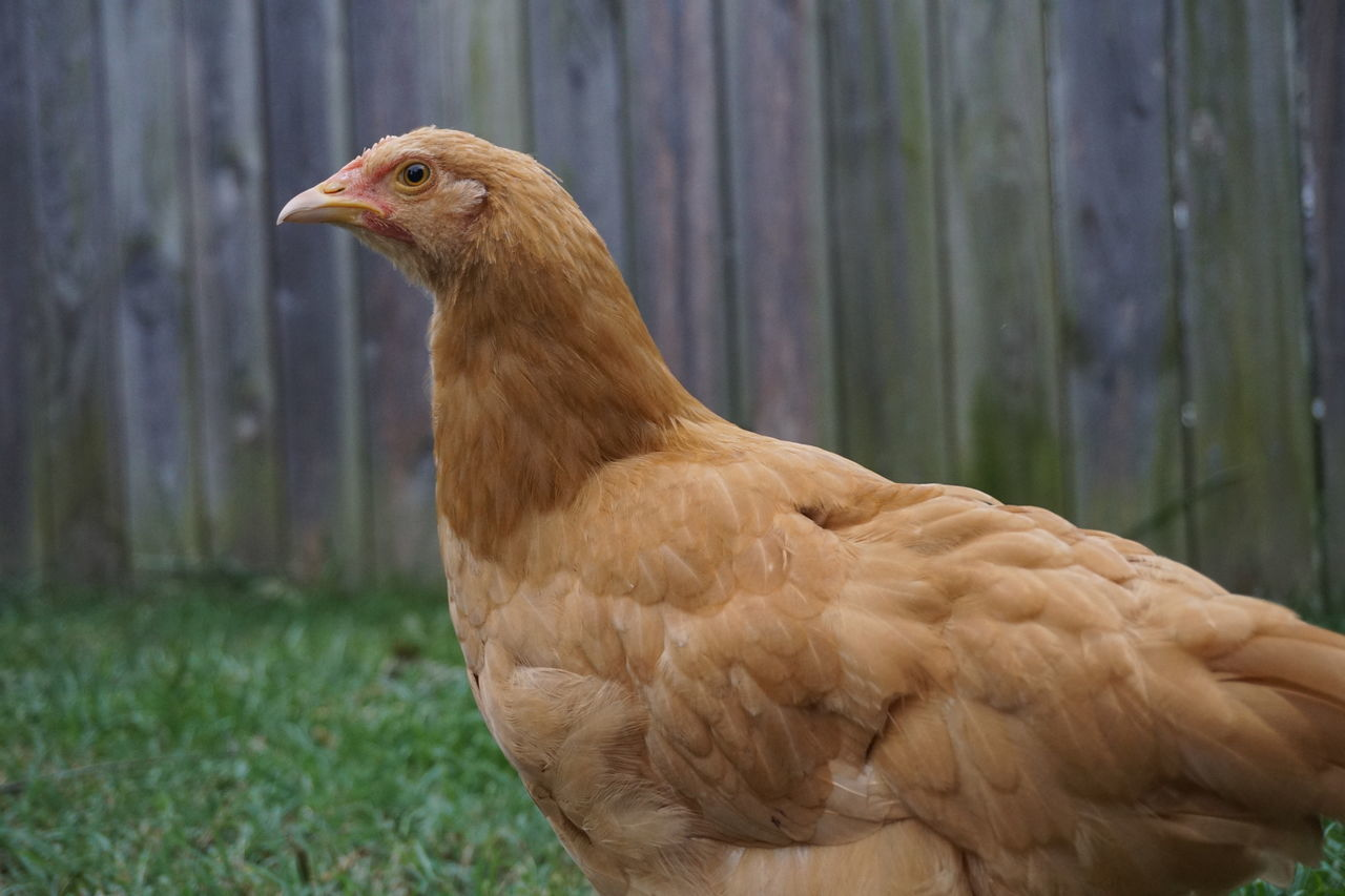 Beautiful stock photos of chicken,  Animal Themes,  Beak,  Beauty In Nature,  Bird