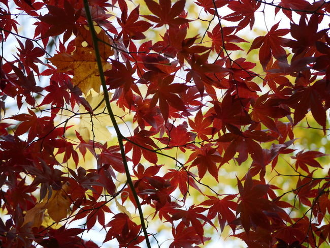 Autumn Leaf Nature Maple Tree Maple Leaf Leaves Day Branch Backgrounds