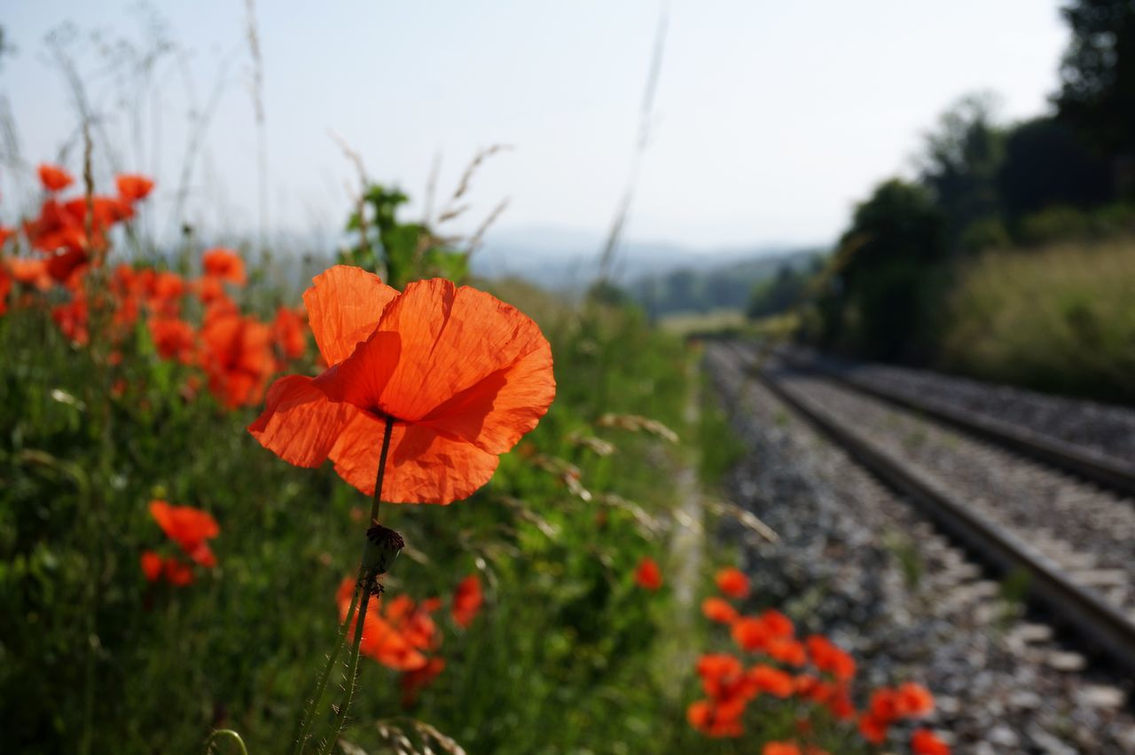 Poppy series . Railroad Track Change Day Plant Outdoors Nature Growth No People Transportation Beauty In Nature Rural Scene Flower Close-up Freshness Blue Sky Fragility Petal Summer Nature Red Poppy Uncultivated Close-up Shot Live For The Story