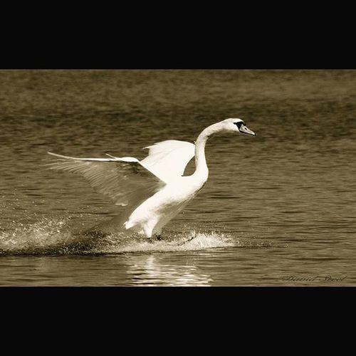 Landing Swan. Linlithgow Loch. ISO 400 f5.6 1/500 sec Princely_shotz Ig_captures Ig_shutterbugs Naturelovers Nature_shooters Ig_captures Igbest_shots Ig_supershots Nature_sultans Igbest_shots Ig_wildlife Wildlife Wildlifephotography Thebest_captures Ig_shots_magic Splendid_shotz Special_shots Srs_nature Birdsofinstagram Birdseyeview Birdscapture Birdsplanet