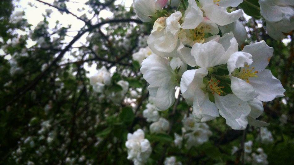 Apple tree Apple Tree Flower Macro Russia EyeEmRussianTeam
