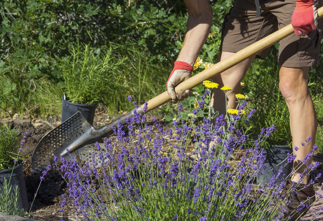 Adding New Plants Garden Tools Gardener Planting Plants Daylight Daytime Setting Garden Garden Gloves Green Leaves Lavender Mulch Outdoors Penstemon Xeriscapic Garden Xeriscapic Gardening Yarrow Yellow Flowers