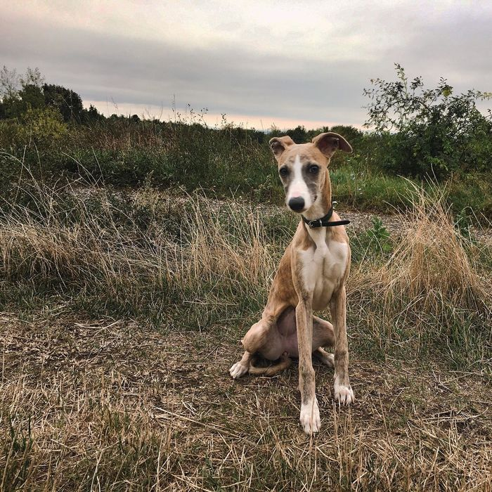 EyeEm Selects Whippet Quality Of Life Quality Time Waiting Dog