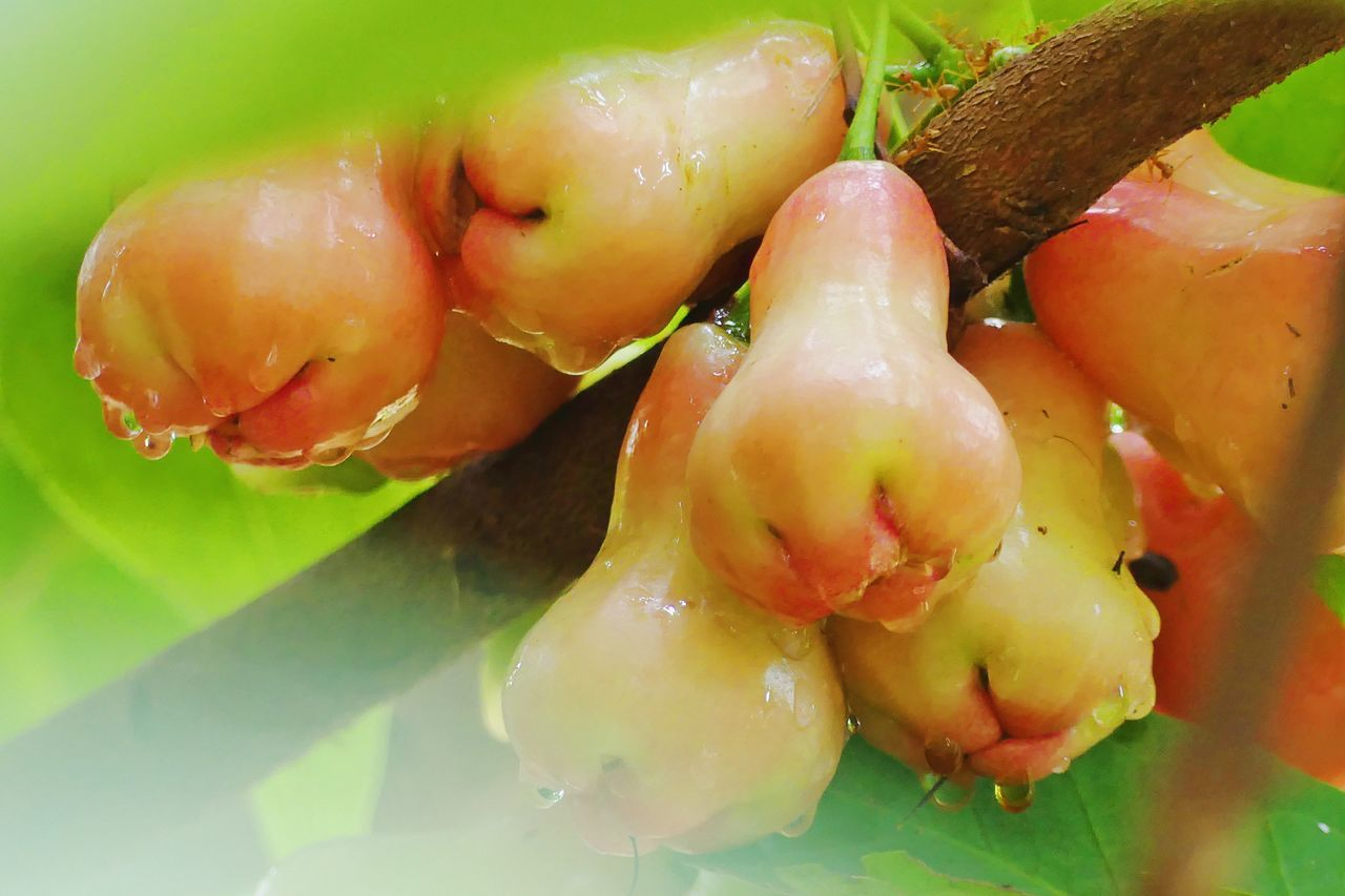 Fresh Rose Apple Close-up Day Drop Food Food And Drink Fresh Rose Apple Freshness Fruit Green Color Growth Healthy Eating Indoors  Nature No People Ready-to-eat Rose Apple Rose Apple Trees Tropical Fruit Tropical Fruit Tree Vegetable ชมพูพันทิพย์ ชมพู่ ผลไม้ ผลไม้สด ผลไม้ไทย