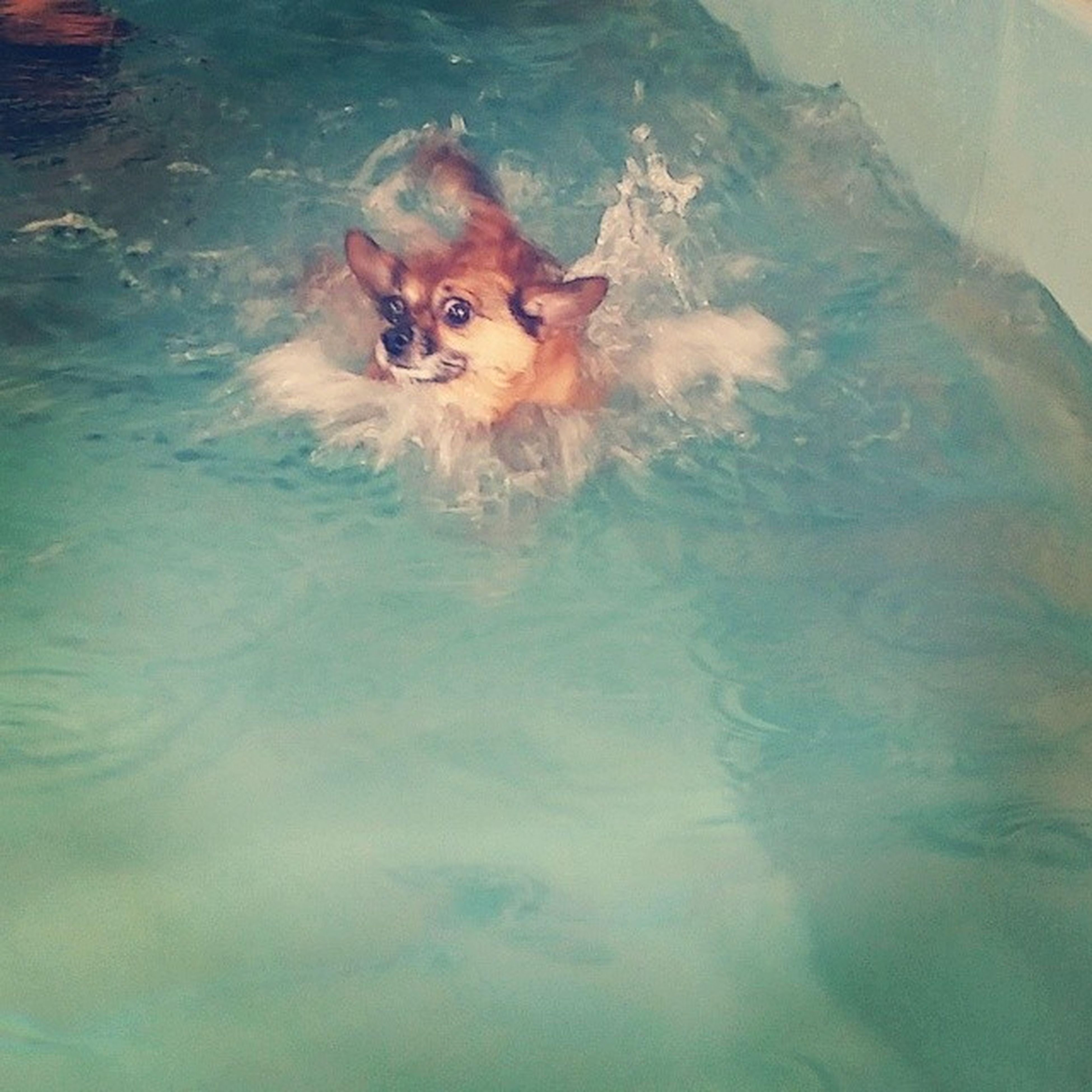 I swims!!!! Swimmingchihuahua Isthatarat Dumbwetdog