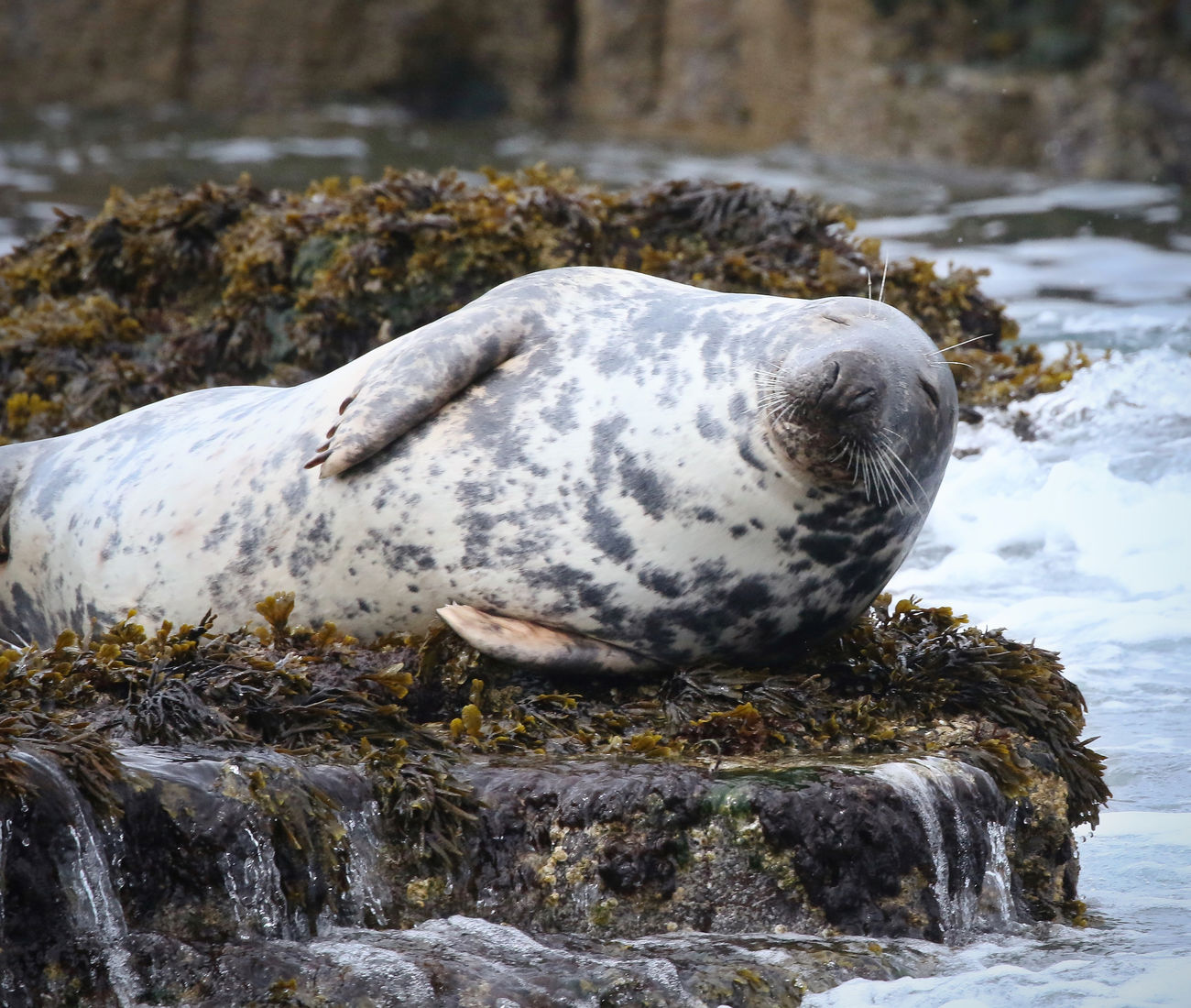 Grey Seal in the Farne Islands Animal Themes Animal Wildlife Animals In The Wild Aquatic Mammal Beauty In Nature Close-up Day Full Length Mammal Nature No People One Animal Outdoors Relaxation Rock - Object Sea Sea Life Sea Lion Seal Seal - Animal Water