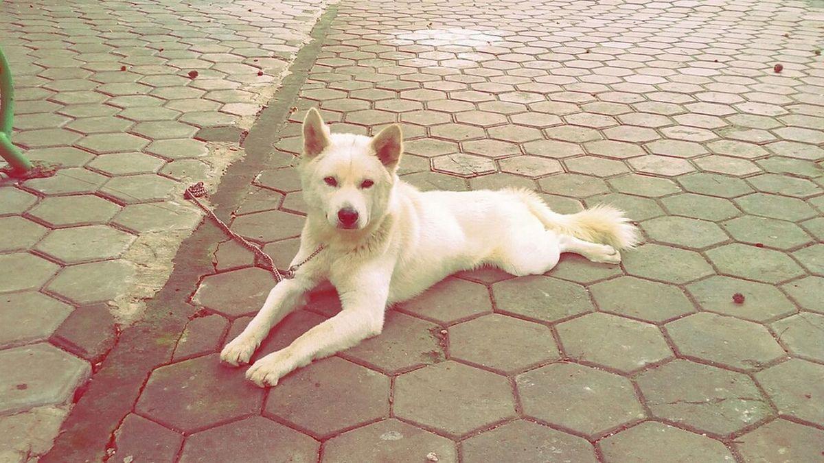 Kintamani Dog