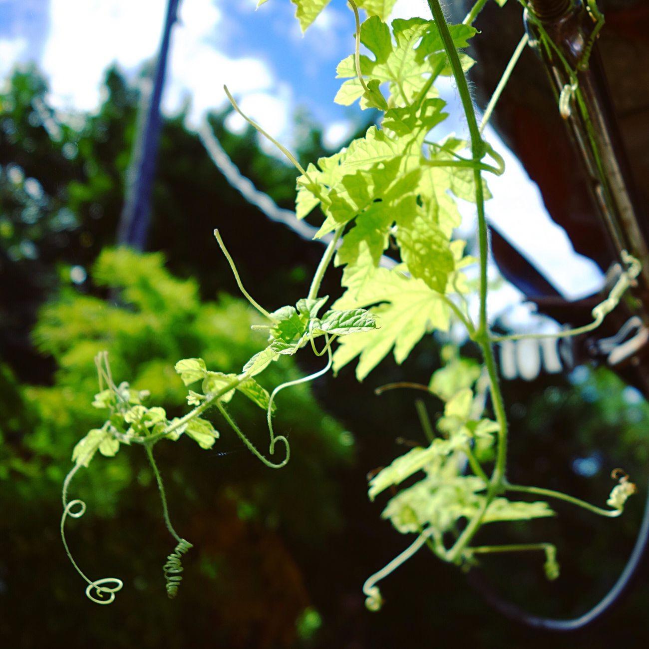 ゴーヤー ゴーヤ Bittermelon Vine Creeper Creepers Liane Plant Green Leaves Yaeyama Okinawa Rx100