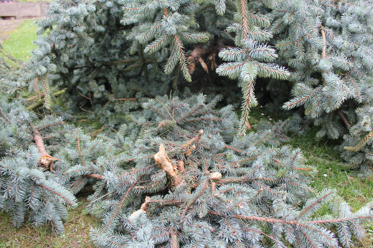 Fir Branches Beauty In Nature Christmas Tree Fir Tree Green Color Green Fir Branches Growth Nature Needle - Plant Part No People Outdoors Pine Tree Plant Spruce Tree Tree Tree Branches