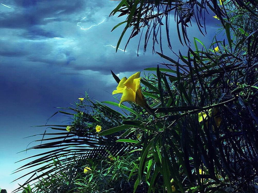 Adapted To The City Nature Low Angle View Beauty In Nature Sky No People Leaf Yellow Growth Day Tree Plant Cloud - Sky Outdoors Branch Close-up Yellow Flower Yellowbells Lightning Storm