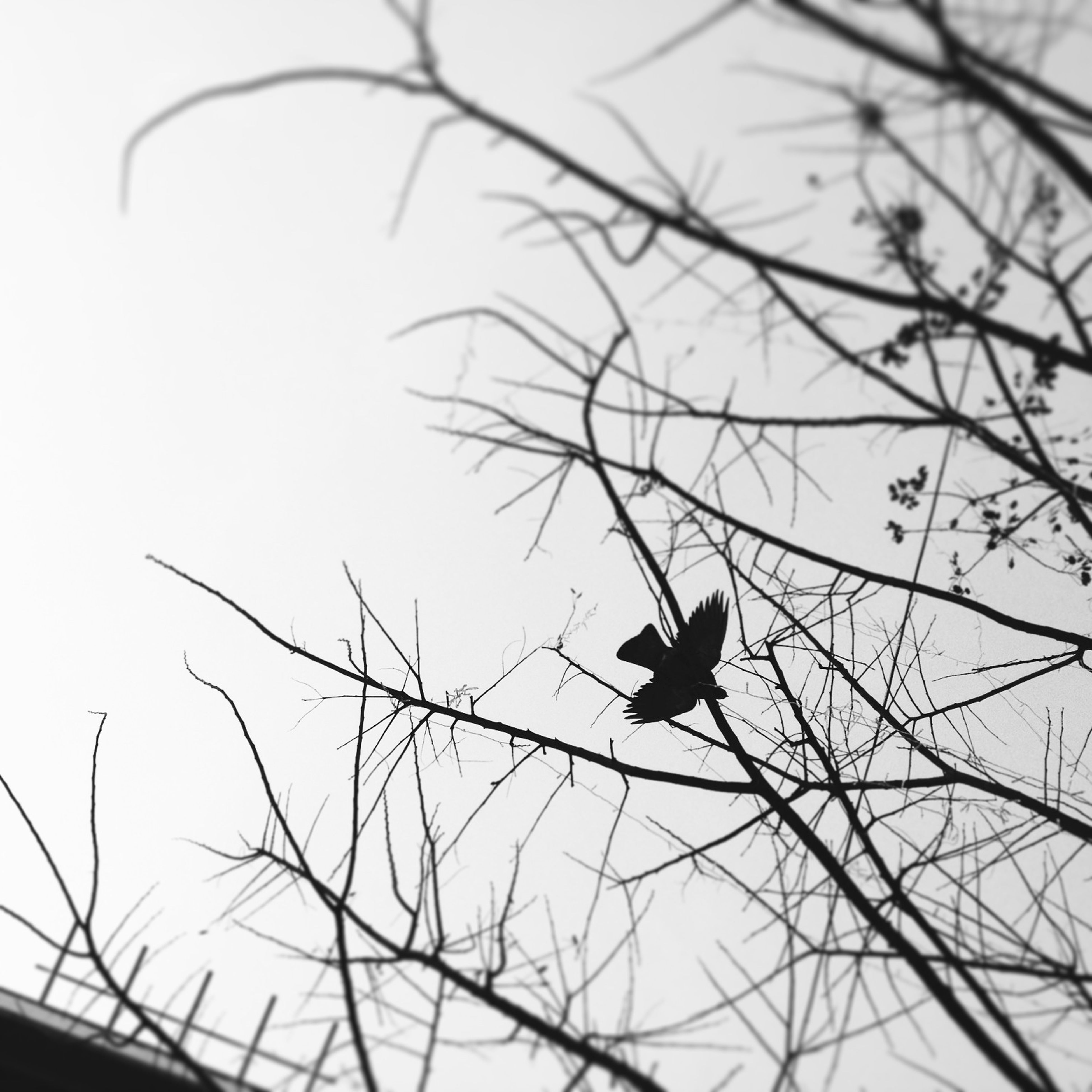 animal themes, bird, one animal, animals in the wild, wildlife, low angle view, perching, branch, silhouette, clear sky, bare tree, nature, flying, tree, outdoors, sky, no people, day, zoology, two animals