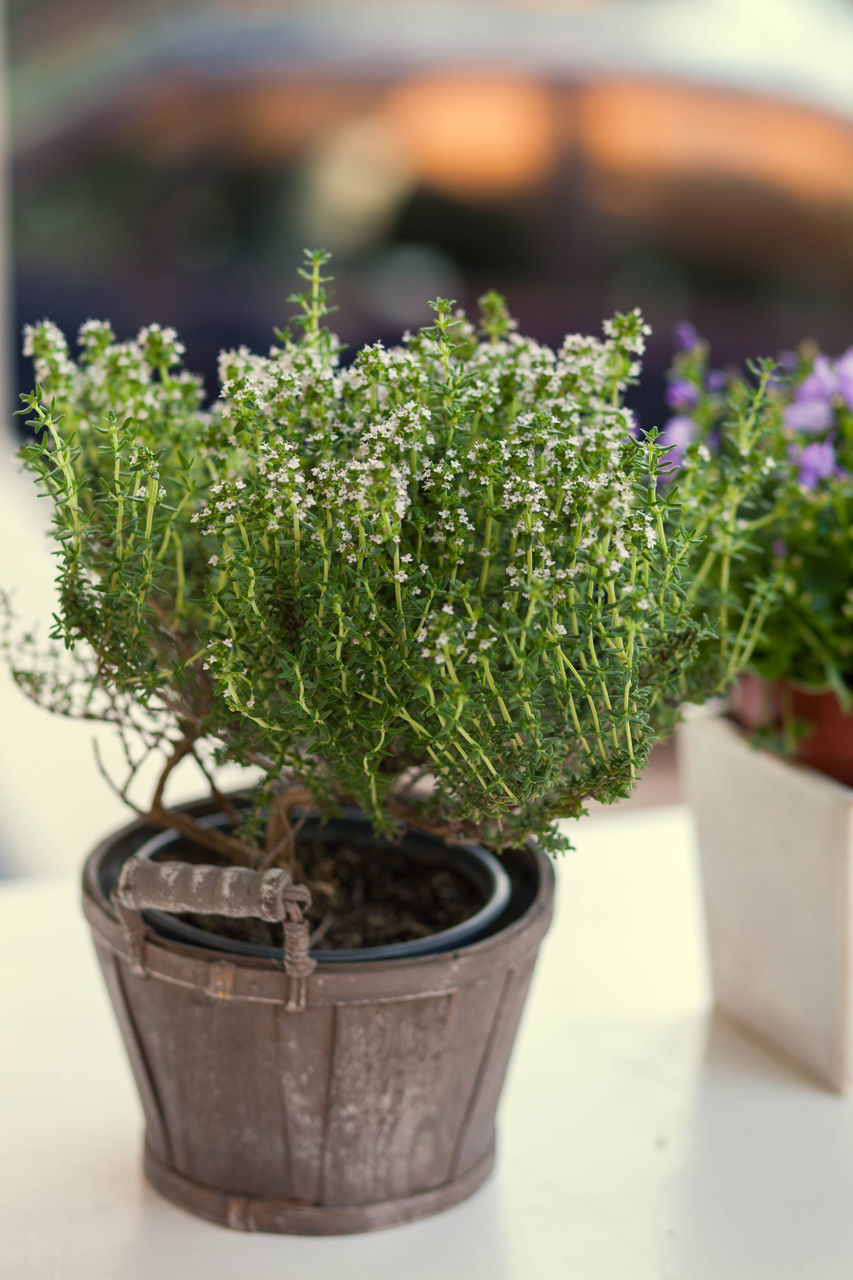 growth, potted plant, plant, nature, green color, bonsai tree, focus on foreground, no people, indoors, day, close-up, fragility, beauty in nature, freshness