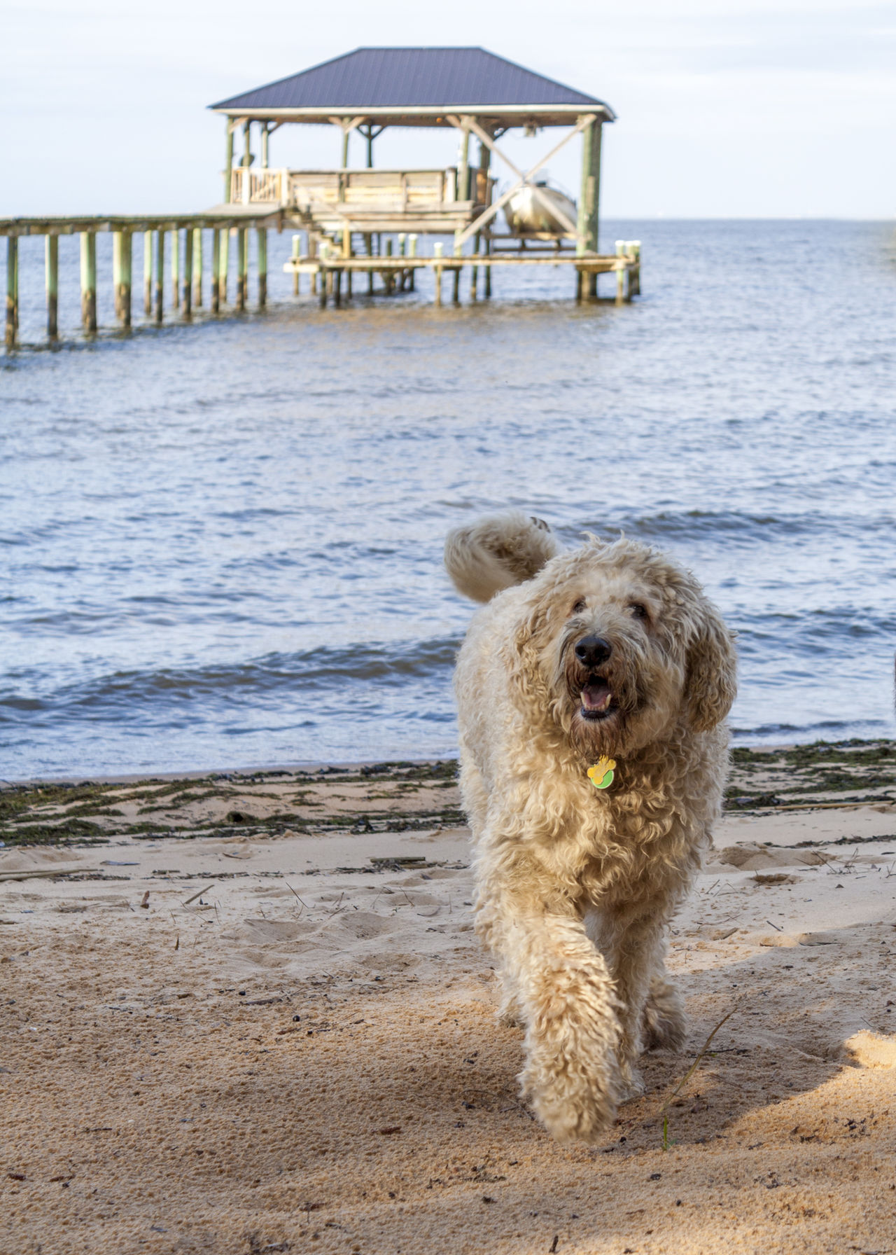 Beach Beach Life Dog Domestic Animals Happy Day Happy Dog Labradoodle Looking At Camera Mobile Alabama  Mobile Bay Morning Sun No People Ocean One Animal Pets Salt And Sand Sand Shaggy Shaggy Dog Shore Standing Warf Water Happiness Joy Of Life