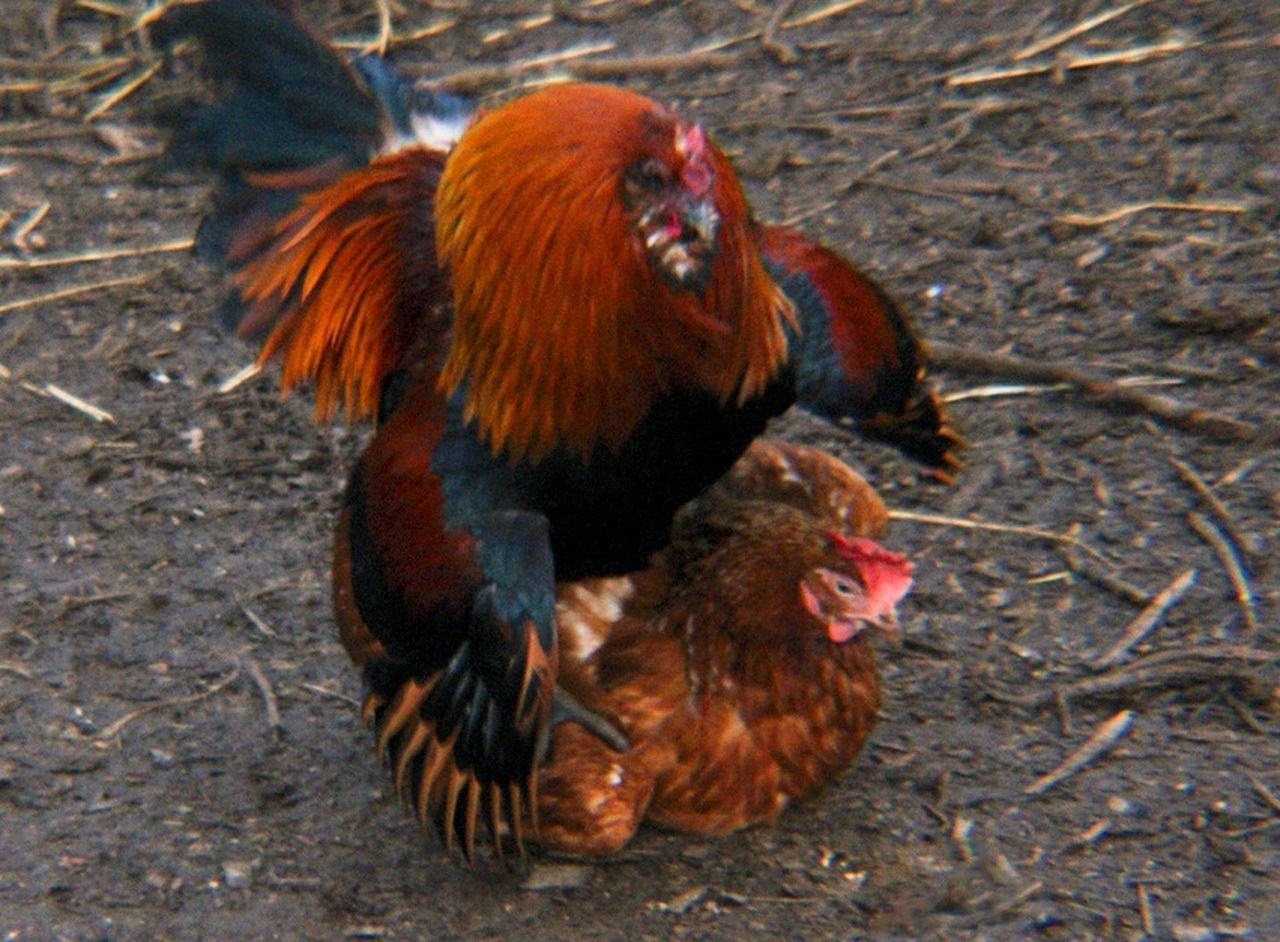 Chicken - Bird Chickens Bird Mating Treading Rooster Cockeral Animal Themes High Angle View No People Animals In The Wild Day Outdoors Nature Mammal Close-up Orangutan