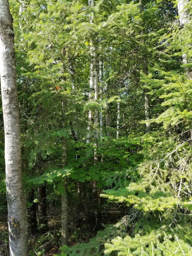 Forest Pines Conifers Birch Woods Green Outdoors Nature
