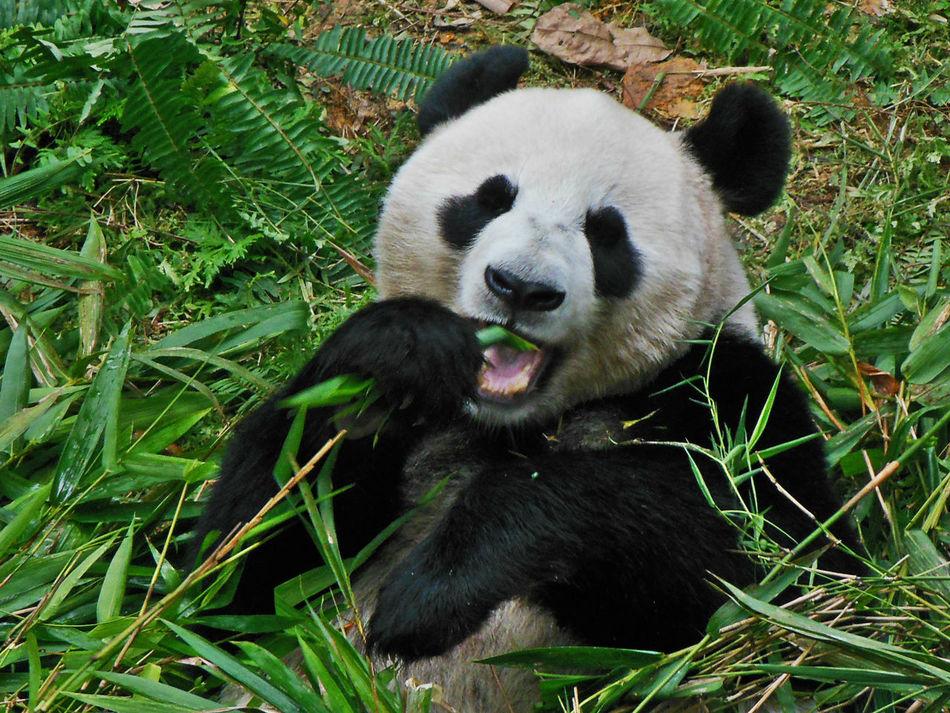 Animal Themes Bamboo Close-up Delicious Bamboo Happy Hungry Indulge One Animal Panda - Animal Panda Bear Pandashots Singapore Zoological Garden