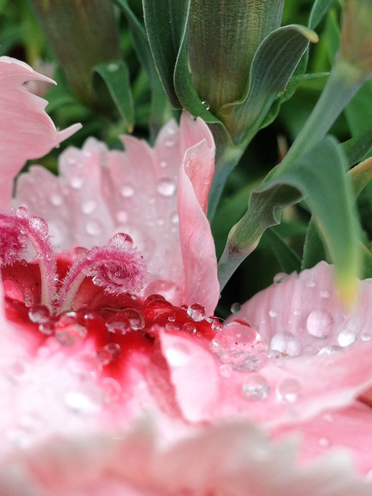 Flower Pink Color Petal Freshness Beauty In Nature Nature Fragility Close-up Water Wet Growth No People Drop Flower Head Plant Day Outdoors