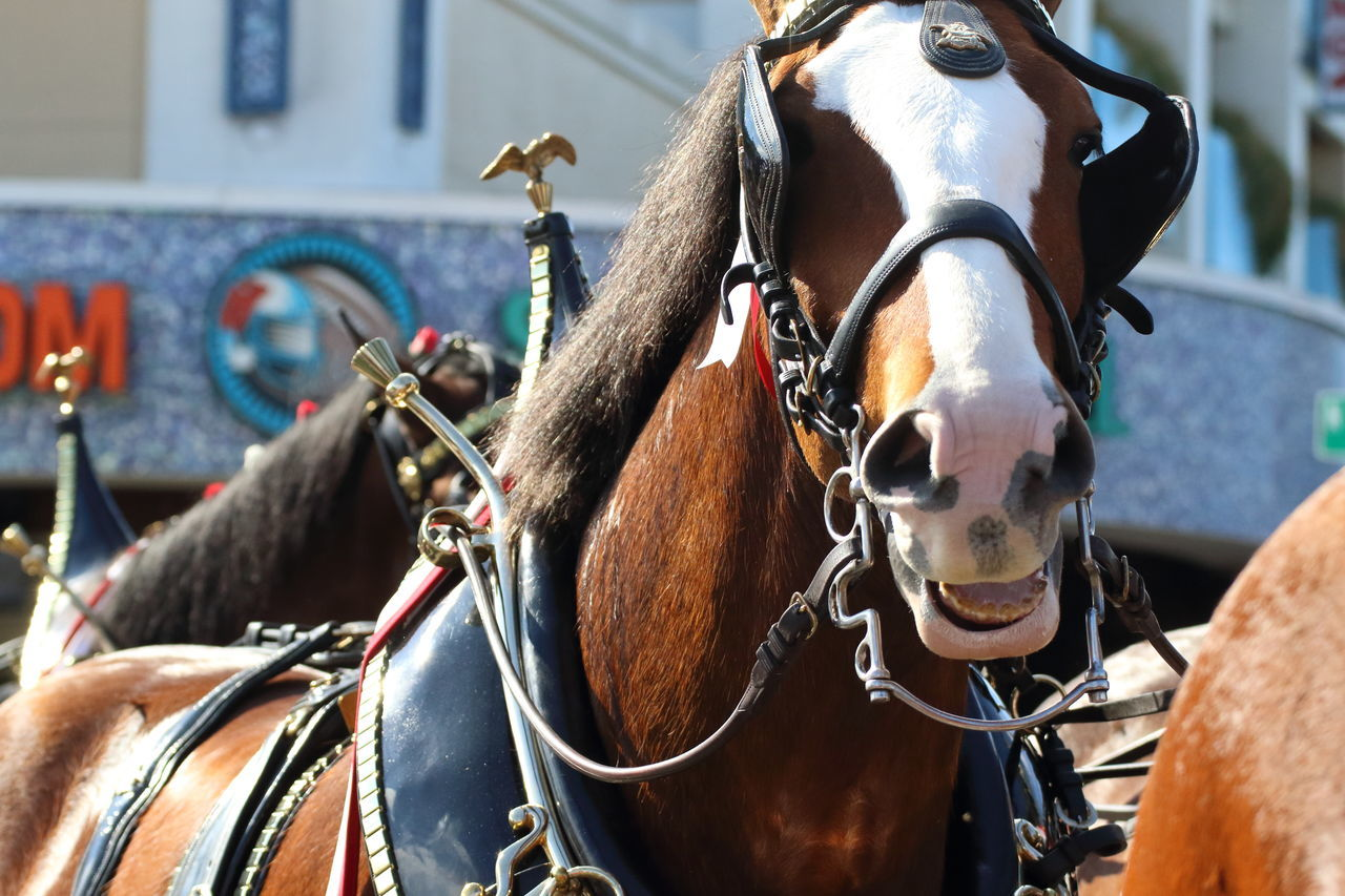 horse, horse cart, domestic animals, working animal, horsedrawn, animal themes, bridle, mammal, street, transportation, livestock, mode of transport, day, no people, focus on foreground, one animal, close-up, outdoors