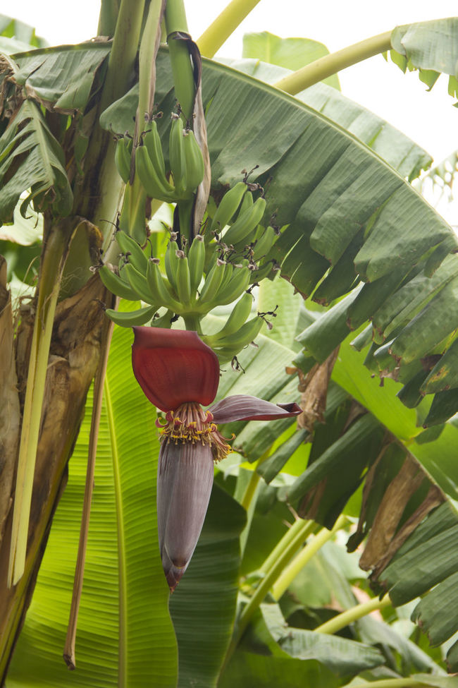 Agriculture Banana Banana Flower Banana Leaf Beauty In Nature Botany Close-up Day Exoticism Flower Fragility Freshness Green Green Bananas Green Color Growth Leaf Nature No People Outdoors Plant Vibrant Color