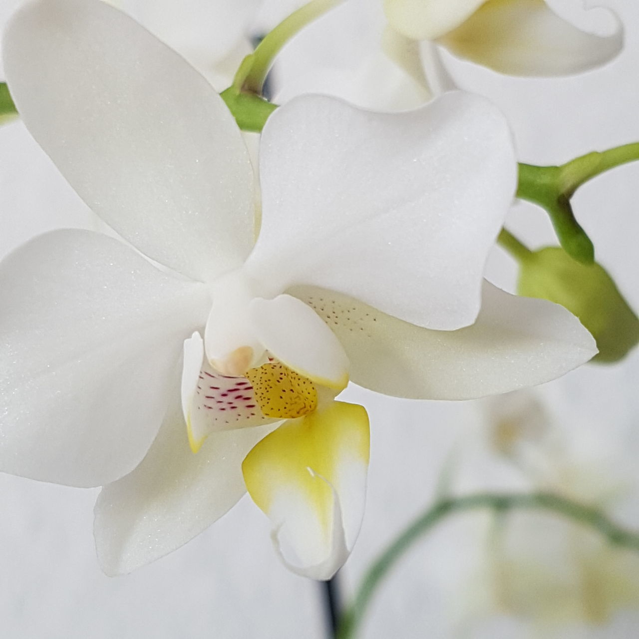 Studio Shot Beauty In Nature Plant Nature Flower Head Beauty Fragility No People Flower Close-up Zen-like Indoors  Freshness Day Orchids Focus On Foreground Eyeemphotography Orchid Orchid Blossoms