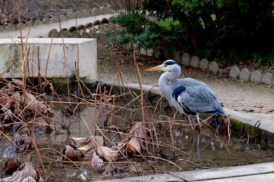 Animal Themes Bird Day Gray Heron Heron Nature NO Gil Scott No People
